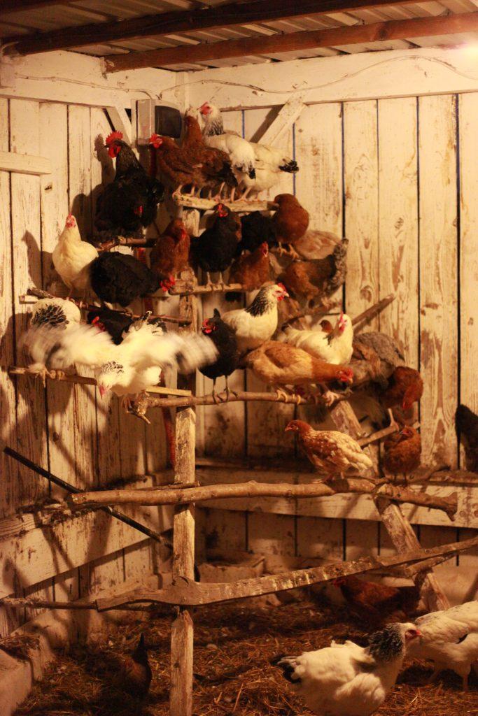 Cot cot cot Les poules sont bien perchées, elles peuvent passer une bonne nuit !