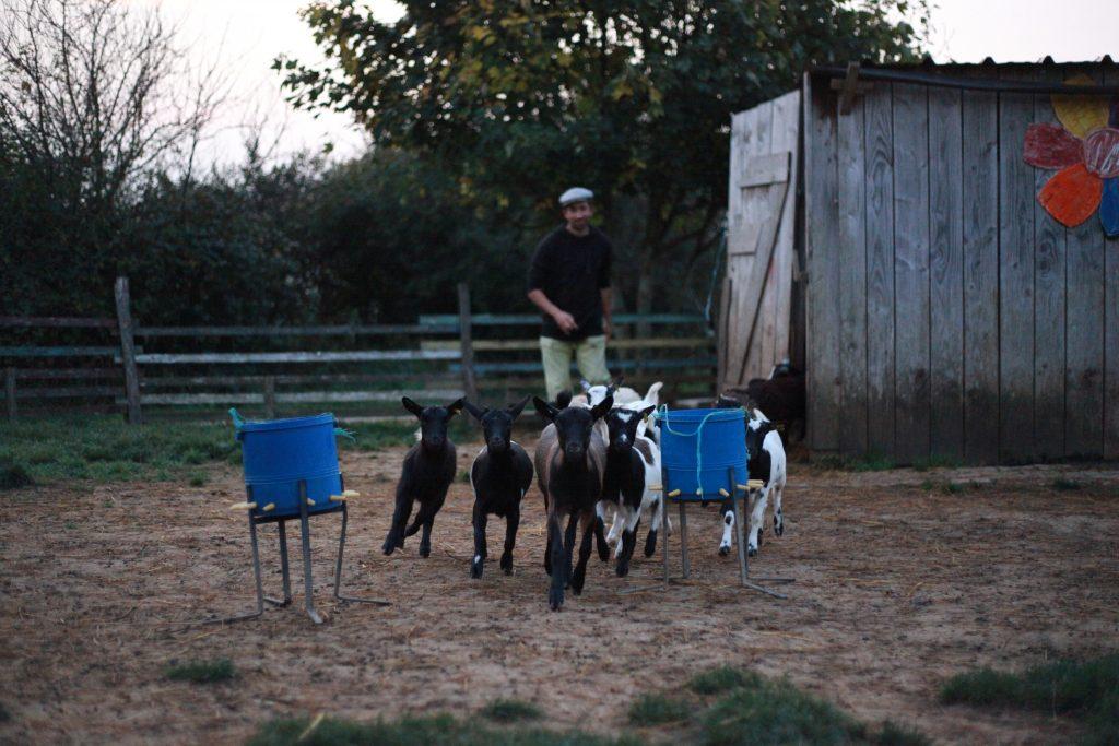 Vite vite, il est 7h45, c'est l'heure du premier biberon de la journée pour les petits chevreaux et agneaux !